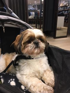 Shih Tzu - Shopping- Relax