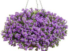 Bacopa is most familiar as opening white flowers, but hybrids offer pink and lavender blooms. 'Blue Bubbles' sparkles with double blue-purple flowers. Give bacopa light shade to full sun. The trick to non-stop flowers is avoiding drought stress. Just don't overwater as you aim for that goal. Instead, plant bacopa with something that wilts easily when dry, like coleus. When the coleus wilts, it's time to water.