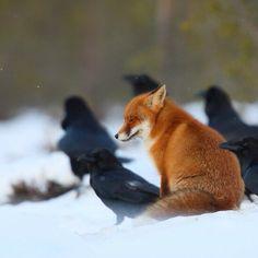 poshchocs: Fox & ravens