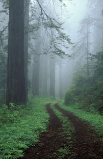 Dream road through the California Redwoods. Old Highway 101.