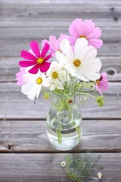 Cosmos flowers on a simple glass vase and Voilà instant beauty in any room of your home! Cosmos Flowers, My Flower, Fresh Flowers, Flower Vases, Wild Flowers, Beautiful Flowers, Simply Beautiful, Daisy Love, Flowering Trees