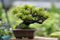 ゴヨウマツのミニ盆栽 の画像|超ミニ盆栽のブログ