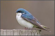 Tree Swallow by Randy Lowden on 500px