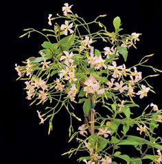 Confederate Jasmine 'Pink Showers' (Trachelospermum jasminoides)