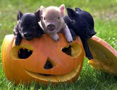 Pigs in a pumpkin...