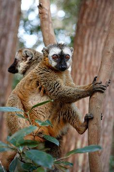 Red-fronted brown lemur (Eulemur fulvus rufus). Madagascar