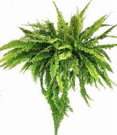 Nephrolepis exaltata Nephrolepis exaltata 'Can Can'  – odmiana polecana do uprawy w doniczkach wiszących. Bardzo szybko rośnie. Liście są silnie karbowane i powcinane. Początkowo rosną pionowo do góry, z czasem jednak zaczynają opadać – ze względu na duży ciężar.