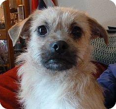 "Seattle, WA - Border Terrier/Cairn Terrier Mix. Meet Mirage"" a Dog for Adoption."