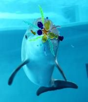 Young dolphin Taz with visual enrichment at Indianapolis Zoo