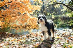 Bernedoodle dog in Lowville Park during a fall October morning in Burlington Ontario.