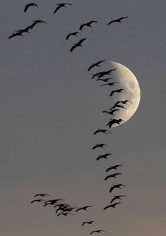 Wild geese that fly with the moon on their wings...(Migrating Geese over Linum, Germany - photo by Pawel Kopczynski)