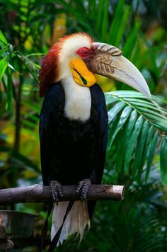Birds in Thailand: Wreathed hornbill