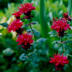Bee balm! Great for clay soil.