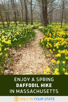 Take a hike through this beautiful daffodil reserve in Massachusetts. It's scenic, family-friendly, and magical in the spring when all the flowers are in bloom. Spring Break Vacations, Haunted Places, Daffodils, Day Trips, Massachusetts, Maryland, Amazing Photography, The Good Place, Travelling