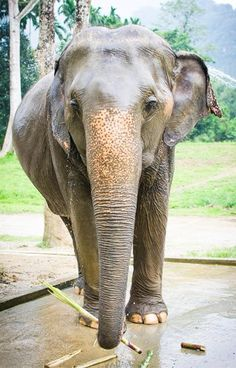 Elephants are a symbol of Thailand so it's only natural that you'll want to meet these beautiful creatures on your trip. Make your trip extra special by going glamping at Elephant Hills in picturesque southern Thailand for a ethical way to get up close to these beautiful animals.   #KhaoSok #Thailand #Asia  