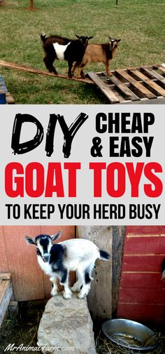 Goat Toys - DIY & Cheap Toys for Goats to Keep Your Herd Busy - The Best Goat Playground Ideas, Tips, Plans and Images Pigmy Goats, Goat Playground, Playground Ideas, Goat Shelter, Goat Pen, Raising Goats, Feeding Goats, Goat Care, Nigerian Dwarf Goats