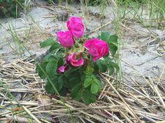 Purple beach rose