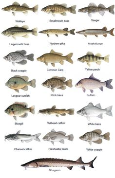 St. Croix River fish species - GAMEFISH.