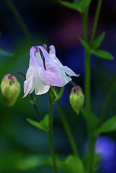 ~~Floral Birds ~ columbine by Byron Varvarigos~~