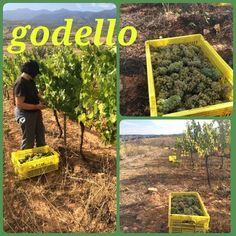 Godello en Losada #dobierzo #vinosdelbierzo #vendimia #harvest #Love #wines (en Losada Vinos de Finca)