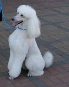 Town And Country Poodle Haircut Retro Poodle Trims Seven Styles One Dog Part 4 Of 6 Part, Pin By Academia De Peluqueria Canina Sos Animal On Academia De, Town And Country Clip Pics Poodle Forum Standard Poodle Toy, Poodle Grooming, Dog Grooming, I Love Dogs, Puppy Love, Miniature Husky, Poodle Haircut, Poodle Cuts, Sweet Dogs, Dog Suit