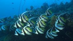 Long-Finned Bannerfish, School of Fish, Maldives, Reef, Indian Ocean, Sea Life, Swimming, Stock Footage,