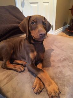 The Doberman Pinscher is among the most popular breed of dogs in the world. Known for its intelligence and loyalty, the Pinscher is both a police- favorite Doberman Pinscher Blue, Doberman Love, Doberman Puppies, I Love Dogs, Cute Dogs, Black And Tan Terrier, Happy Dogs, Dog Life, Best Dogs