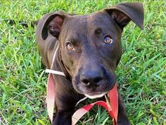 URGENT! Can be put to sleep for space at any time! FROGGY  Labrador Retriever Mix • Young • Male • Medium  Palm Beach County Animal Care & Control West Palm Beach, FL