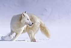 "Arctic Wolf ""About Face"" by Mike Lentz"