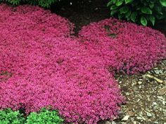 Red Creeping Thyme (Thymus Serpyllum 'Magic Carpet') hardy drought tolerant perennial, pink lemon-scented blooms all summer, inches tall. Red Creeping Thyme, Thymus Serpyllum, Ground Cover Plants, Perennial Ground Cover, Lawn Care, Lawn And Garden, Garden Tips, Garden Projects, Dream Garden