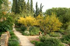 Looking towards the cypresses we see the pomegranates, the  Parkinsonia aculeata and an over-grown Stone Pine. | Sparoza, Greece