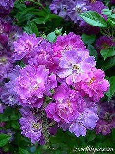 Veilchenblau Very Rare Purple Rose flower pink rose purple rare veilchenblau thornless