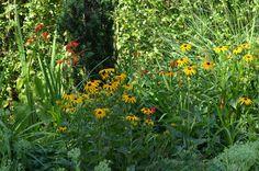 Rudbeckia *Garten-Liebe*:
