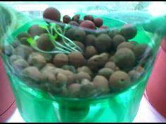 2 liter vegetable hydroponics | ... to ej playlist simple 2 liter plastic bottle hydroponic system 2 liter Vertical Hydroponics, Hydroponics System, Hydroponic Gardening, Gardening Tips, Grow Room, Marijuana Plants, Plastic Bottles, Green Beans