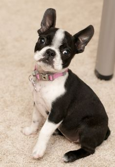 All time faves! | Boston Terrier Friendzy