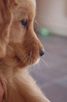 nothing like a golden puppy #DogTumblr