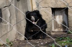 The solution is easy: Instead of supporting zoos, support organizations that help protect the animals in their natural habitat. These stories are why animals belong in the wild. Save Animals, Zoo Animals, Sloth Bear, Black Bear, Spirit Animal, Beautiful Creatures, Habitats, Whale, Bears