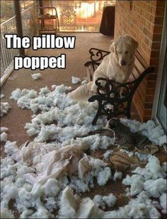 13 Guilty Dogs Who Claim They Have NO IDEA How That Mess Got There… - LittleThings.com humor, funny quotes #humor