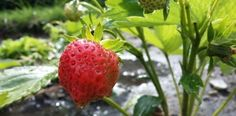 Planting Strawberry   Complete Growing Guide