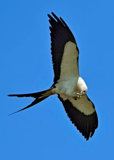 Scissor-tailed Kite inflight - This bird of prey feeds on small frogs as seen here inflight