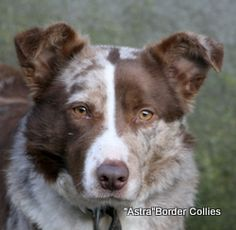red merle border collie - Google Search
