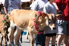 Strolling of the Heifers Weekend — June 1-2-3 — always chosen as one of Vermont's Top Ten Summer Events!  It's a weekend filled with fun and education for the whole family, built around the world-famous Strolling of the Heifers Parade — Saturday, June 2 at 10 a.m. sharp on Brattleboro's historic Main Street.