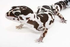 Fat-tailed geckos can live for more than 20 years. Lepord Gecko, Leopard Gecko Cute, Cute Gecko, Cute Lizard, Cute Snake, Cute Reptiles, Reptiles And Amphibians, Animals And Pets, Baby Animals