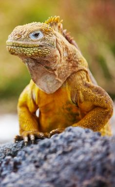 A land iguana in the Galapagos Islands ~ http://suitcasesandsunsets.com/galapagos-islands.html