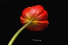 Tulip by Nancy Morales on 500px