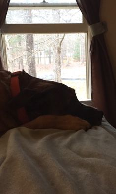 Molly was napping on the bed and enjoying the breeze from the window
