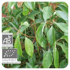Huile essentielle Cannelier de Chine bio Pranarôm – Cinnamomum cassia - les-huiles-essentielles-bio