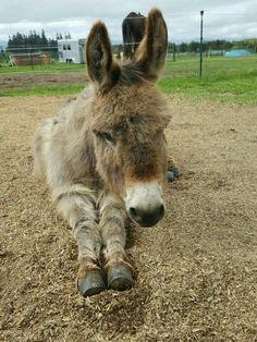 #donkey #animals #farm