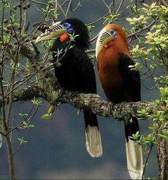 Rufous-Necked Hornbills - Tom Stephenson