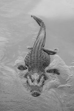 ♥ #nature #water #alligator